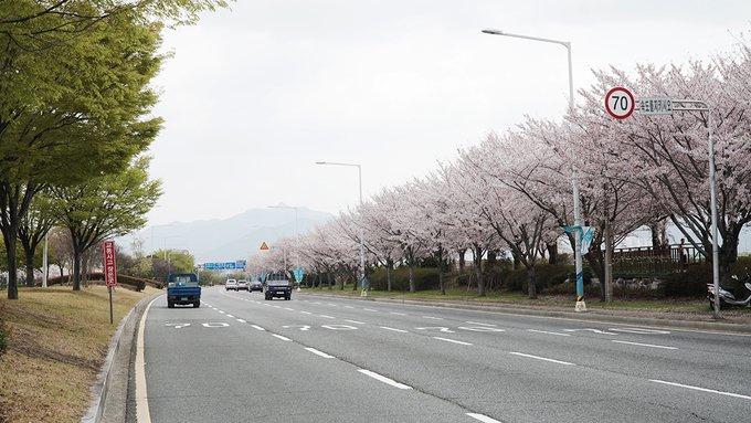 Khám phá con đường hoa anh đào dài nhất Hàn Quốc 2