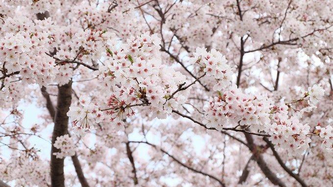 Khám phá con đường hoa anh đào dài nhất Hàn Quốc 3