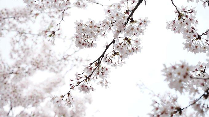 Khám phá con đường hoa anh đào dài nhất Hàn Quốc 4
