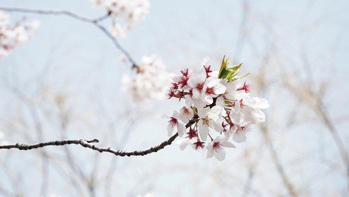 Khám phá con đường hoa anh đào dài nhất Hàn Quốc 5