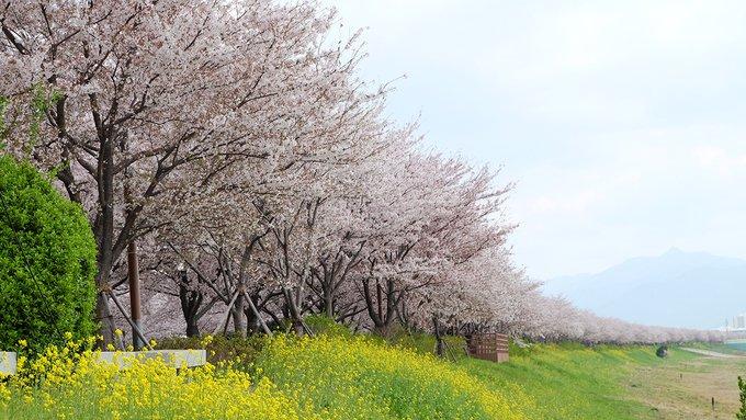 Khám phá con đường hoa anh đào dài nhất Hàn Quốc 8